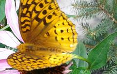 Great Spangled Fritillary Butterfly 20170702_140510-20.jpg