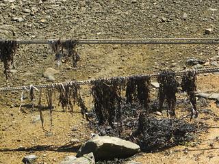 Seaweed on ropes