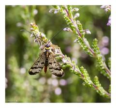 HolderScorpion Fly