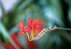 Red Crocosmia Lucifer Flowers 1 of 3