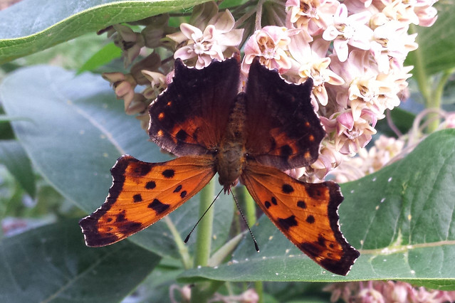 wings flat, top wings hanging below the blossom, antennae in an upside-down V