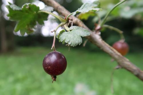 Jostabeere (reif und roh genießbar) auf dem Poppenhausener Früchtepfad