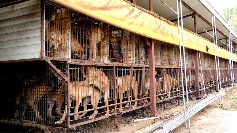 The Dog Meat Professionals: Investigating the South Korean dog meat trade [