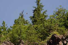 Badger Creek - Hawks