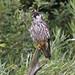 DSP01523 - Hobby  (Falco subbuteo)
