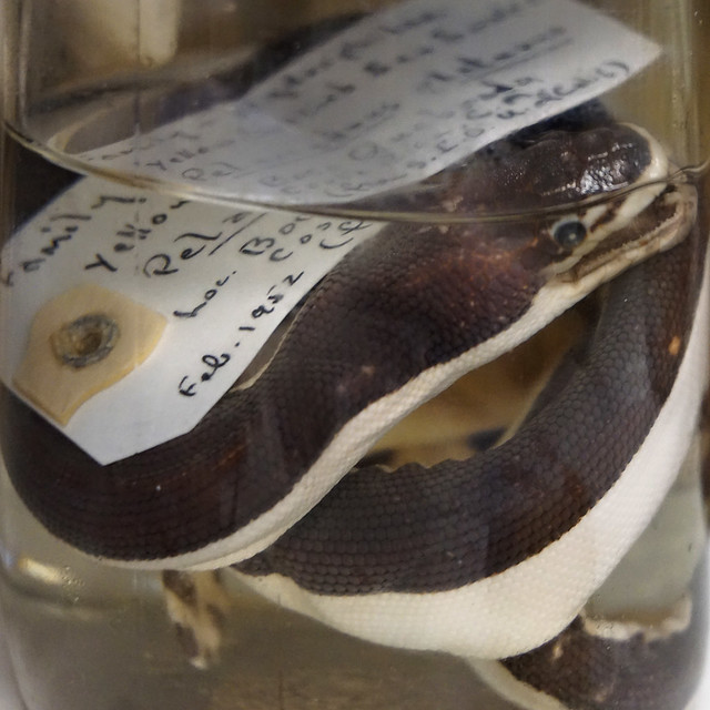 Preserved Sea Snake