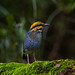 Blue Pitta (M) - Front view by heng.steven