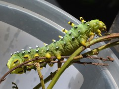 Caterpillar of a Ceanothus Silk Moth (Hyalophora euryalus, Saturniinae)