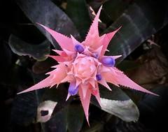 Bromeliad, Lotusland