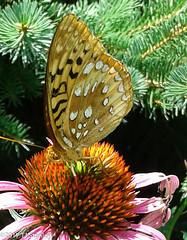 Great Spangled Fritillary Butterfly 20170702_140107-3.jpg