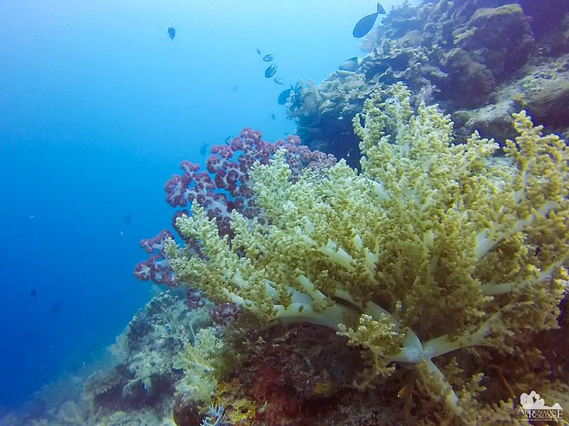 Nephtheidae corals
