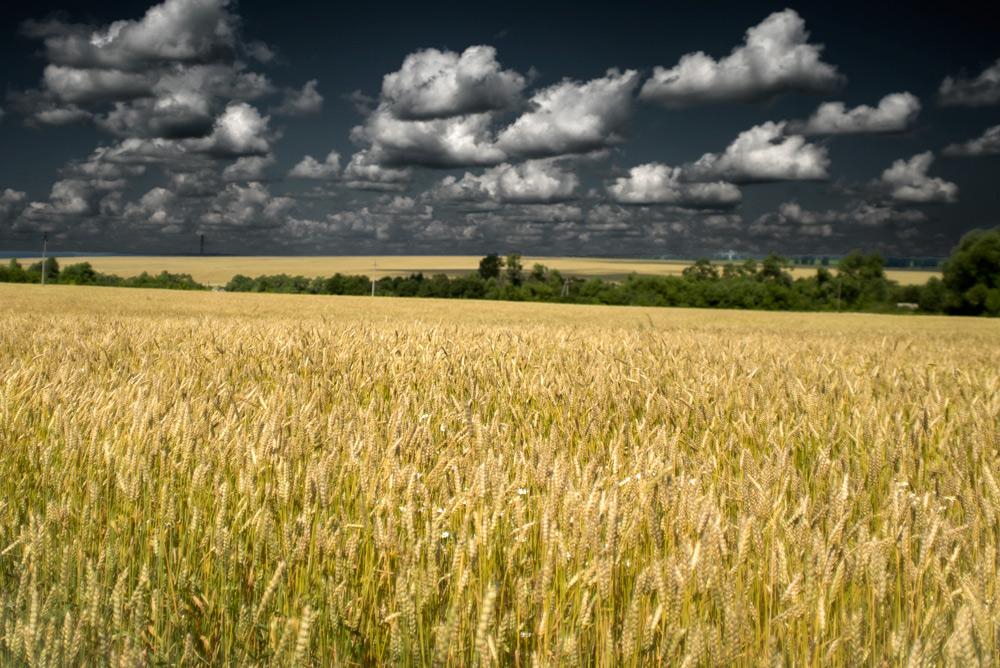 Пшеница_DSC06296