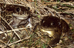 Western Spadefoot Toads (Pelobates cultripes) couple (female left)