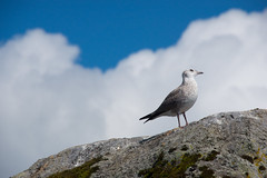 Young gull - Already on top of the world
