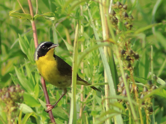 Common Yellowthroat 04-20170727