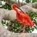 Scarlet Ibis by Wes Iversen