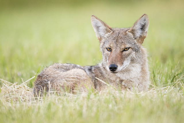 Bedded Down Northern Coyote, Canon EOS-1D X, Canon EF 800mm f/5.6L IS