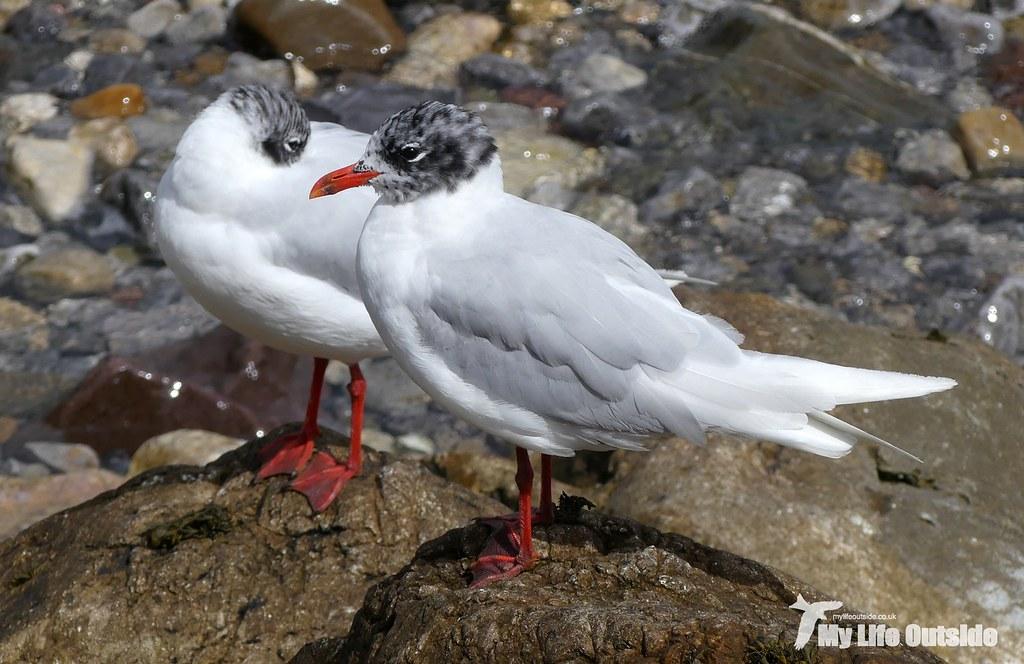 P1100637Mediterranean Gull, Mumbles