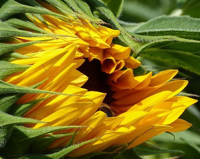 Sunflower bud, Panasonic DMC-TZ71