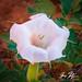 Canyon Lily