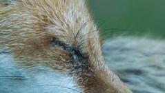 "IMGL7110 Red Fox Female, ""Foxy"""