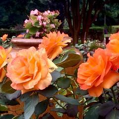 Brookside Gardens - in the rose garden