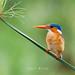 Small photo of Malachite Kingfisher (Alcedo cristata)
