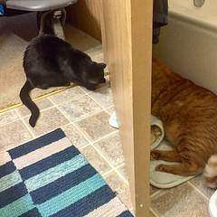 What is under this door?? #curiouscat #underdoor #investigate #blackcat #blackcats #cat #cats #kitty #kittycat #kittygram #blackcatsofinstagram #exferal #queencat #catsofinstagram #catsagram #ネコ #ねこ #猫 #neko #kuroneko #黒猫 #クロネコ #くろねこ