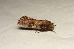 Schizura ipomaeae (Morning-glory Prominent Moth) - Hodges # 8005