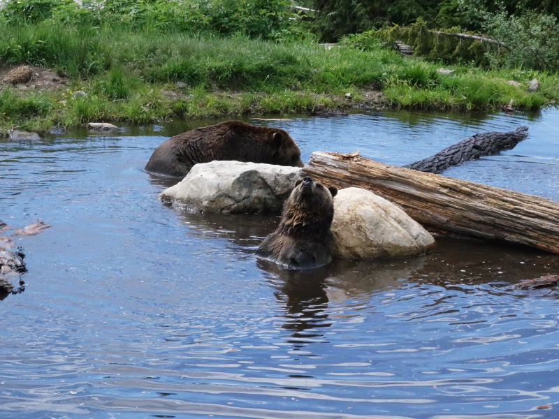 Grouse Mountain bears