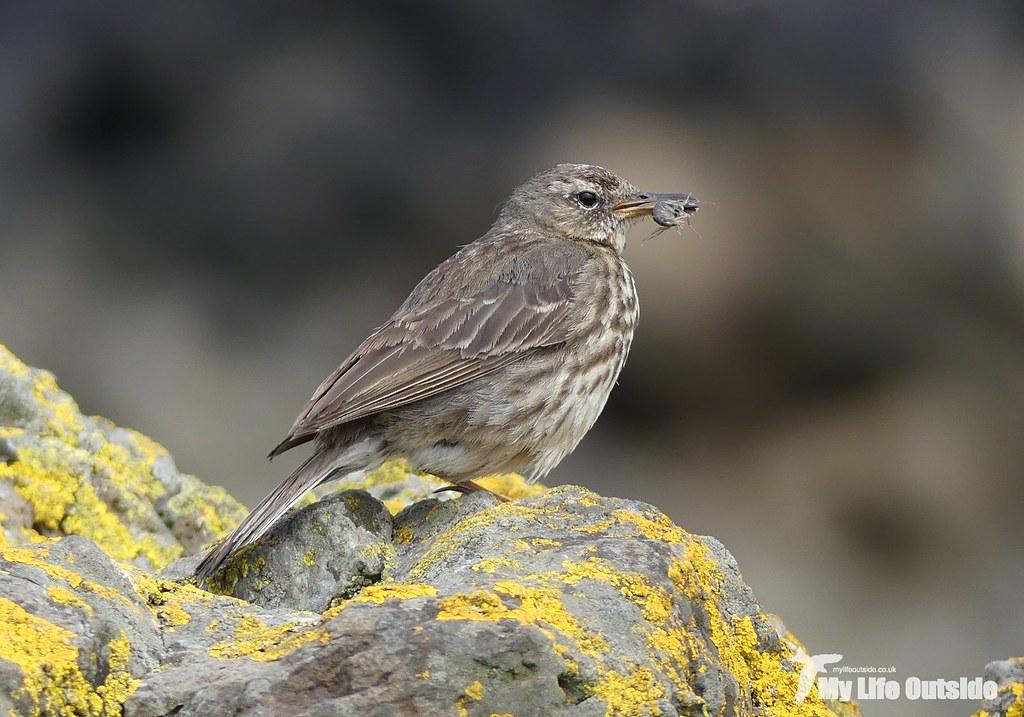 P1090807 - Rock Pipit, Staffa