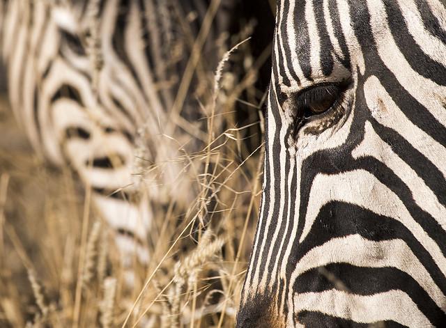 zebras_03
