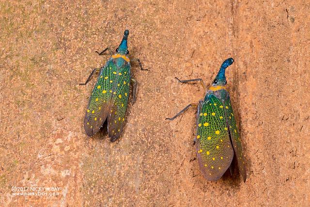 Lantern bugs (Pyrops whiteheadi) - DSC_7201