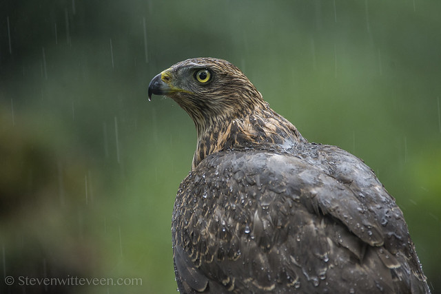 juvenile goshawk in the pouring rain, photographed in the Netherlands.