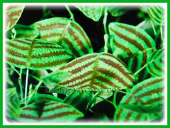 Christia obcordata's (Swallowtail Plant, Butterfly Leaf, Butterfly Wing/Plant, Butterfly Leaf 'Stripe') lovely green leaves that is splashed with maroon stripes, 21 July 2017