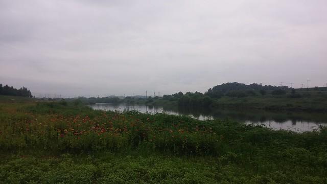 공릉천 아침산책: 백일홍 꽃밭