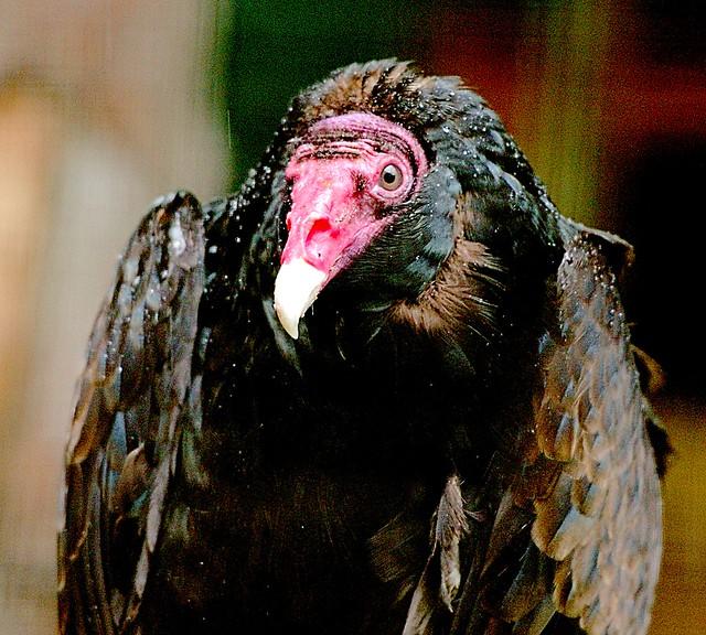 Turkey Vulture_2