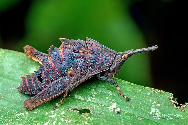 Dead leaf grasshopper nymph (Caelifera) - DSC_7252