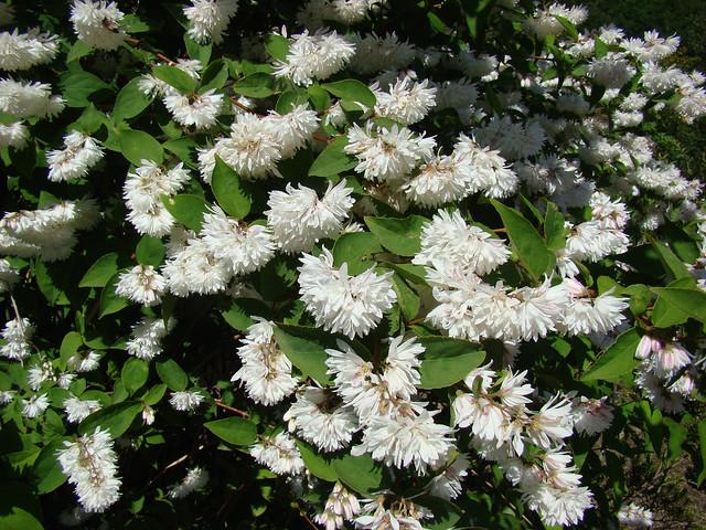 Buisson de DEUTZIA blanc., Sony DSC-H9
