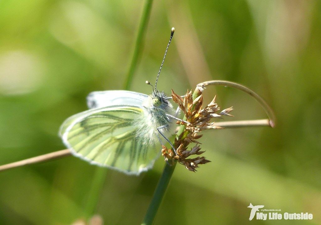P1100164 - Green-veined White, Isle of Mull