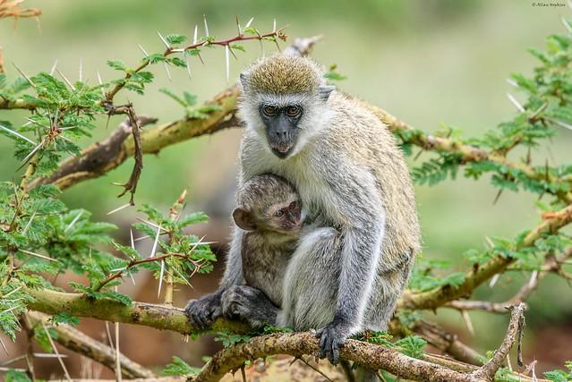 Vervet Monkey Chlorocebus pygeruthrus, Nikon D750, AF-S Nikkor 300mm f/4E PF ED VR