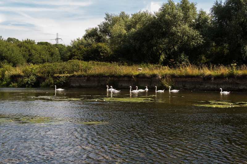 That's rather a lot of swans
