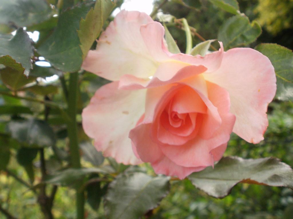 New Rose July 2011