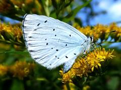Azuré des Nerpruns - Holly Blue