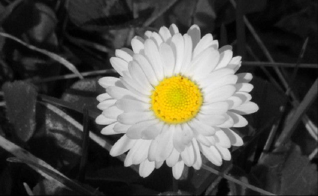 #daisy #yellow #BnW 🌼