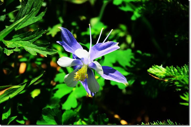 Blue Columbine (10)