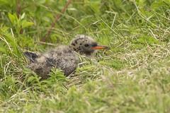 Arctic Tern (Sterna paradisaea) 5 062117