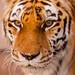 Tigress by VladimirTro