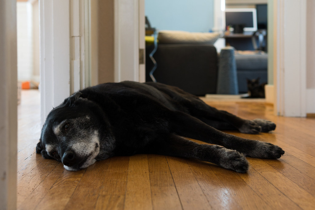 Our dog Ellie lies on the hardwood while our cat Trixie watches from my office