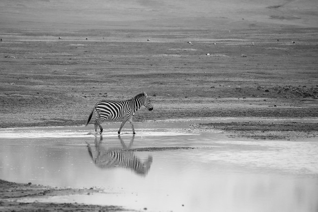 Zebras of Ngorongoro Crater